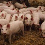 ÉCONOMIE-SANTÉ : Des produits et viandes à base du porc de l'Union Européenne interdits en RDC !